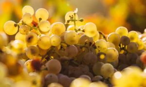 Muscat of Moscato